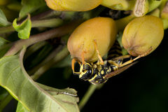 Wasp looking at you on green leaf Stock Photography