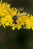 Wasp looking at you on green leaf Royalty Free Stock Images