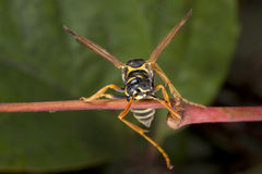 Wasp looking at you on a leaf Stock Images
