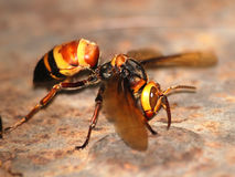 Wasp macro Stock Images