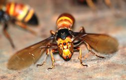 Wasp macro Royalty Free Stock Photos