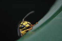 WASP MACRO Royalty Free Stock Photo