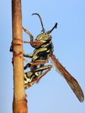 Wasp macro with dew Royalty Free Stock Photos