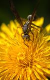 Wasp Macro Eye Detail Royalty Free Stock Photography