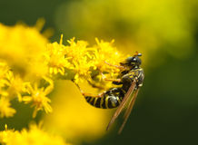 Wasp macro flower Royalty Free Stock Photos