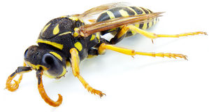 Wasp. Macro on white background royalty free stock photography