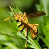 Wasp makro Fotografering för Bildbyråer