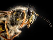 Wasp makro Arkivbilder