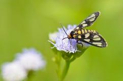 Wasp mal - Eressa angustipenna Royaltyfri Fotografi