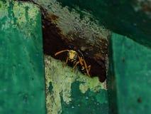 Wasp manligt kika ut ur nederlag Förbindelsen mellan getingpolistesen Royaltyfri Foto