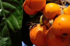 Wasp on medlar. Small wasp eating fresh fruit on cluster of loquats Stock Photo