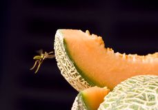 The wasp and the melon Royalty Free Stock Images