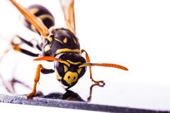 Wasp on a metal surface closeup. Macro shot of a common wasp isolated over a white background Royalty Free Stock Images