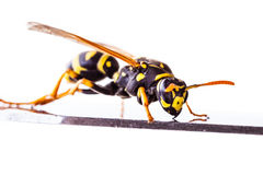 Wasp on a metal surface. Macro shot of a common wasp isolated over a white background Stock Images