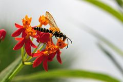 Wasp on milkweed flowers Stock Photography