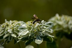Wasp on milkweed plant Stock Photo