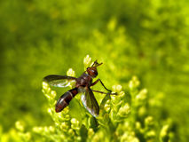 Wasp mimic fly Royalty Free Stock Images