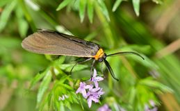 Virginia Ctenucha Moth sitting in a patch of wildflowers. A wasp moth called Virginia Ctenucha (Ctenucha virginica) These are active mostly in the day Stock Photography