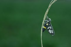 Wasp moth is covered with dew droplets. In the morning Stock Photography