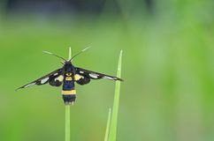 Wasp moth on grass. Wasp moth is staying on grass tip Royalty Free Stock Images