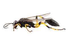 Wasp mud dauber species sceliphron destillatorium Royalty Free Stock Image