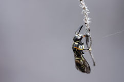 Wasp in the nature Stock Images