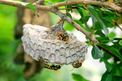 Wasp nest. Wasp lay eggs on nest stock photography
