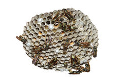 Wasp nest Stock Photos