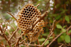Wasp nest. Wasps in a wasp nest in wild nature Stock Photography