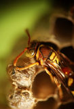 Wasp on the nest. The wasp is resting on or building its nest. With its thorax, eyes, and antenna well focused, the details on each part is well preserved stock photography