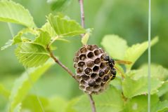 Wasp on nest. Paper wasp builds a nest stock photos