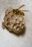 Wasp on the nest. Portrait of wasp on the nest in the wall stock photos