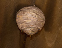 Wasp Nest. Under construction, with wasps adding chewed saliva-soaked wood pulp to walls of nest stock photo