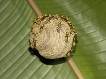 Wasp nest. From the Costa Rica jungle royalty free stock images