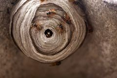 Wasp Nest. A macro of a small wasp nest stock image