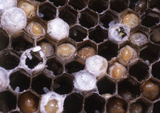 Wasp Nest. Stock Image
