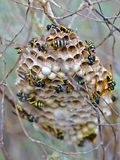 Wasp nest. Wasps in a wasp nest in wild nature royalty free stock photos