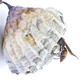 Wasp nest. Wasp nest on a white background stock image