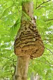 Wasp nest. On tree in forest Royalty Free Stock Photo