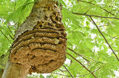 Wasp nest. On tree in forest Royalty Free Stock Image