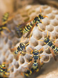 Wasp nest. Exposed paper wasp nest Royalty Free Stock Photos