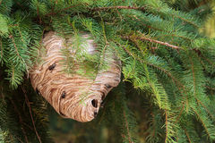 Wasp Nest. Large wasp nest in a pine tree stock photo