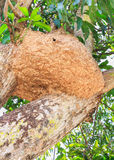 Wasp nest. On a mango tree royalty free stock images