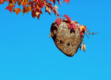 Wasp Nest. Hanging from red maple against clear blue sky stock images