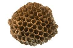 Wasp nest. Empty wasp nest, 2 (5 cm) diameter Stock Image