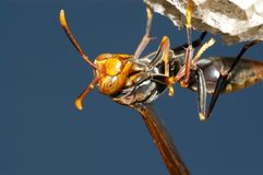 Wasp in nest. Polistes wasp (Polistes sp.) in nest royalty free stock photo