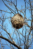 Wasp nest. Wasps in a wasp nest on the tree in wild nature in china Royalty Free Stock Image