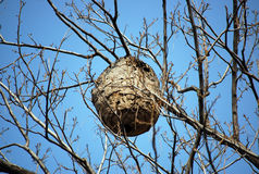 Wasp nest. Wasps in a wasp nest on the tree in wild nature in china stock image