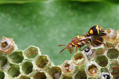 Wasp on Nest. A wasp crawling on the nest over green leaf royalty free stock image