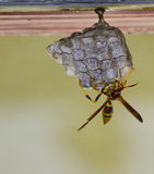 Wasp on Nest Stock Images